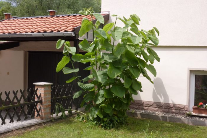Bild Staudenknöterich ganze Pflanze vor Hauswand